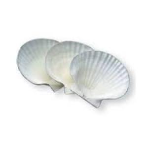"""Shells, Canape, 4"""""""